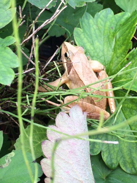 いちごの畑にいた黄金色のカエル