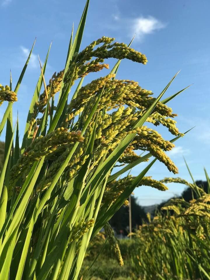 【公開実習】4/23(火)高内さんによる陸稲(おかぼ)技術指導