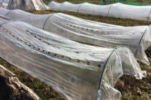 露地栽培いちごの花芽分化の時期ずらしは可能?